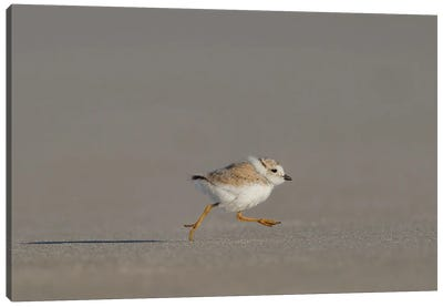 Piping Plover Chick on the Run Canvas Art Print
