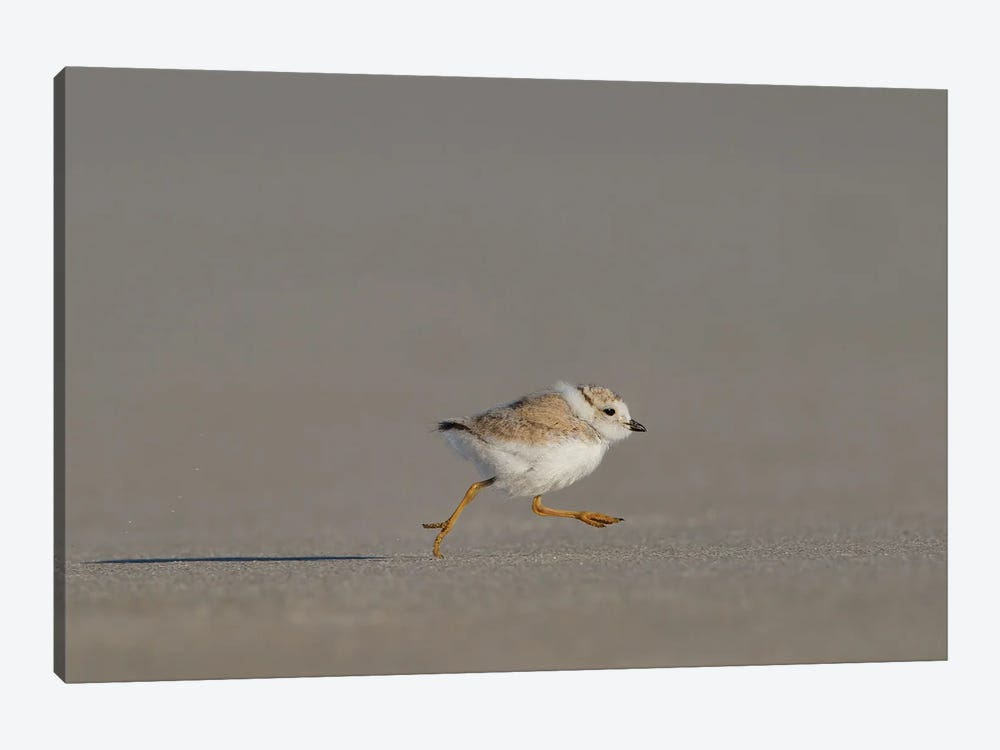 Piping Plover Chick on the Run by Melissa Groo 1-piece Canvas Art Print