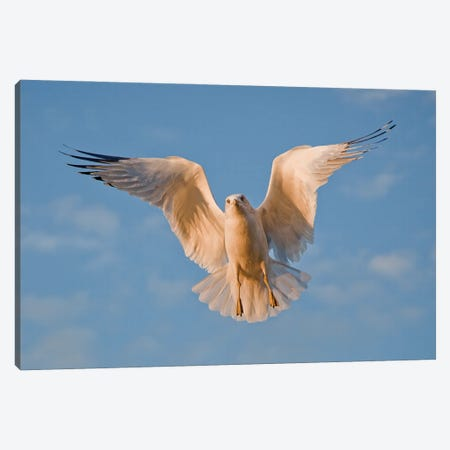 Ring-billed Gull Canvas Print #MEO77} by Melissa Groo Canvas Print