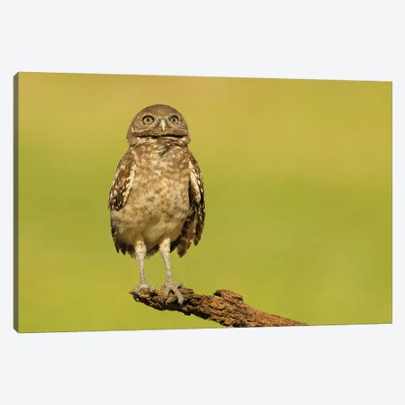 Burrowing Owl Chick Looks Skyward Canvas Print #MEO78} by Melissa Groo Canvas Art