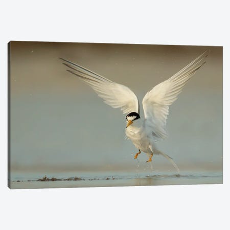 Angelic Least Tern Canvas Print #MEO79} by Melissa Groo Canvas Art