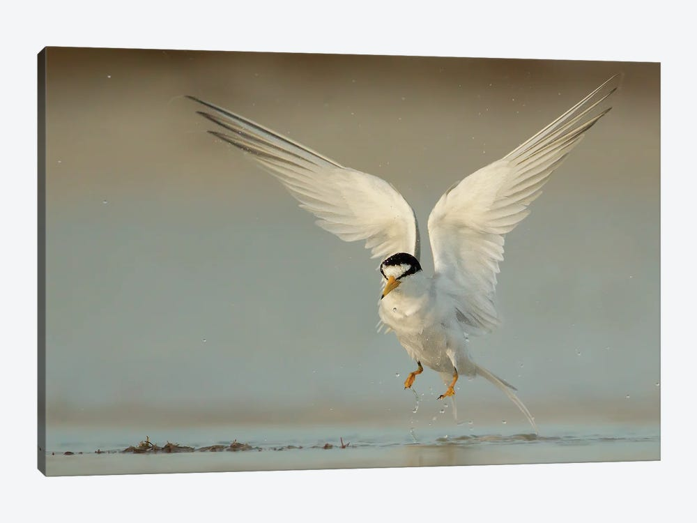 Angelic Least Tern by Melissa Groo 1-piece Canvas Art Print