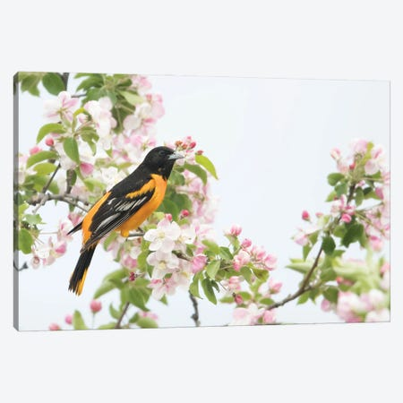 Baltimore Oriole in Apple Blossoms 3-Piece Canvas #MEO7} by Melissa Groo Art Print