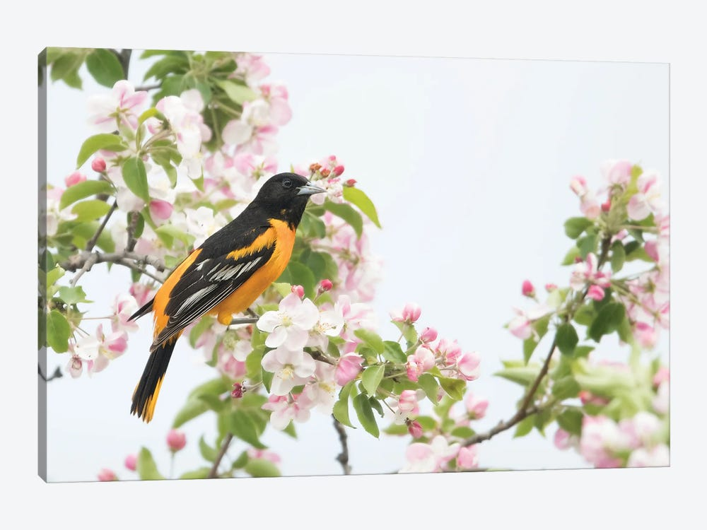Baltimore Oriole in Apple Blossoms by Melissa Groo 1-piece Canvas Artwork