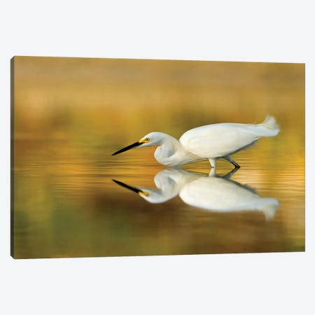Snowy Egret on the Hunt Canvas Print #MEO81} by Melissa Groo Canvas Print