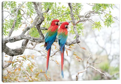 Red-and-Green Macaws, Brazil Canvas Art Print