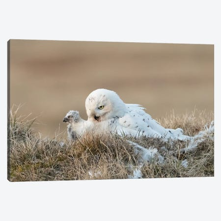 Snowy Owl Chick and Mother, Alaska Canvas Print #MEO9} by Melissa Groo Canvas Art