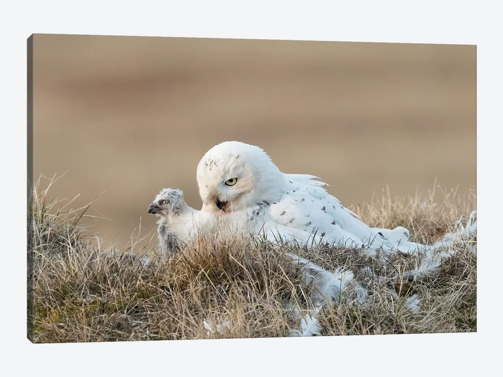 Snowy Owl Chick and Mother, Alaska by Melissa Groo 1-piece Canvas Artwork