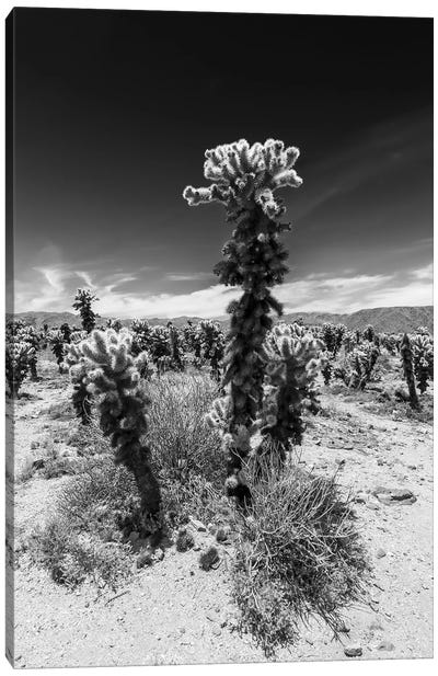 Cholla Cactus Garden, Joshua Tree National Park Canvas Art Print