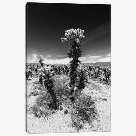 Cholla Cactus Garden, Joshua Tree National Park Canvas Print #MEV255} by Melanie Viola Canvas Art