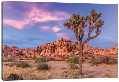 Joshua Tree In The Evening Canvas Art Print