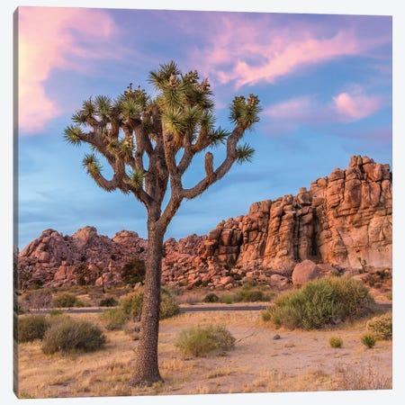 Joshua Tree Sunset Mood Canvas Print #MEV510} by Melanie Viola Canvas Artwork