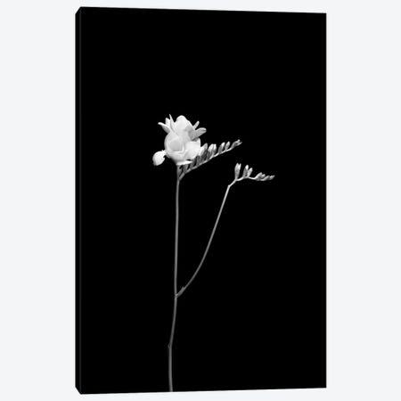 Freesia   Dark Design Canvas Print #MEV750} by Melanie Viola Canvas Art