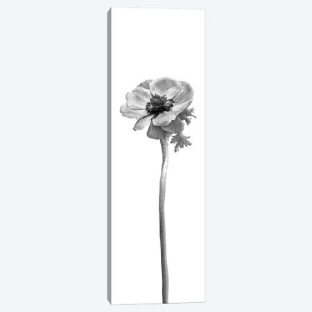 Anemone Coronaria | Panoramic Bright Design Canvas Print #MEV754} by Melanie Viola Canvas Print