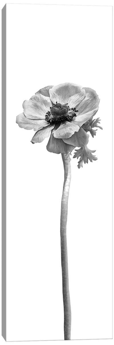 Anemone Coronaria | Panoramic Bright Design Canvas Art Print