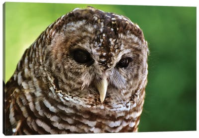 Barred Owl In Forest Canvas Art Print
