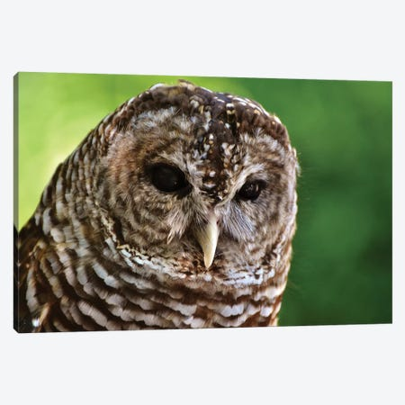 Barred Owl In Forest Canvas Print #MFZ10} by Michael Fitzsimmons Art Print