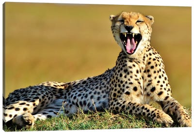 Cheetah Yawning In The Serengeti Canvas Art Print