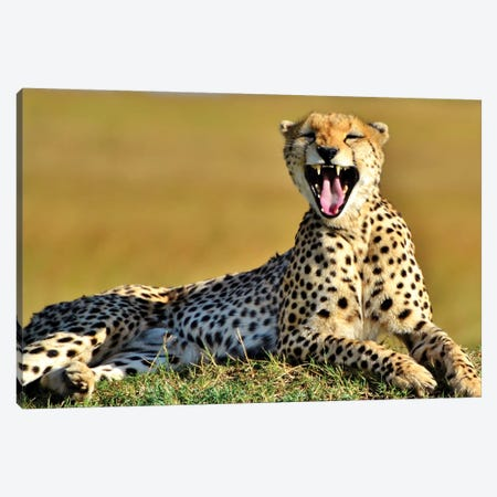 Cheetah Yawning In The Serengeti Canvas Print #MFZ13} by Michael Fitzsimmons Art Print