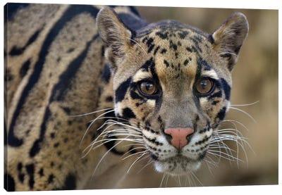 Clouded Leopard Canvas Art Print