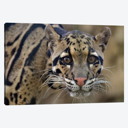 Clouded Leopard Canvas Print #MFZ14} by Michael Fitzsimmons Canvas Artwork