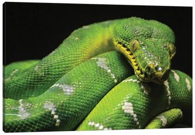 Emerald Boa Constrictor Canvas Art Print
