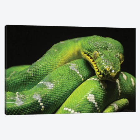 Emerald Boa Constrictor Canvas Print #MFZ15} by Michael Fitzsimmons Canvas Art