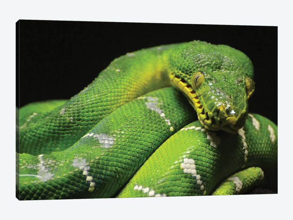 Emerald Boa Constrictor by Michael Fitzsimmons 1-piece Canvas Artwork