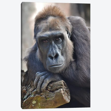 Female Gorilla Portrait Canvas Print #MFZ17} by Michael Fitzsimmons Canvas Wall Art