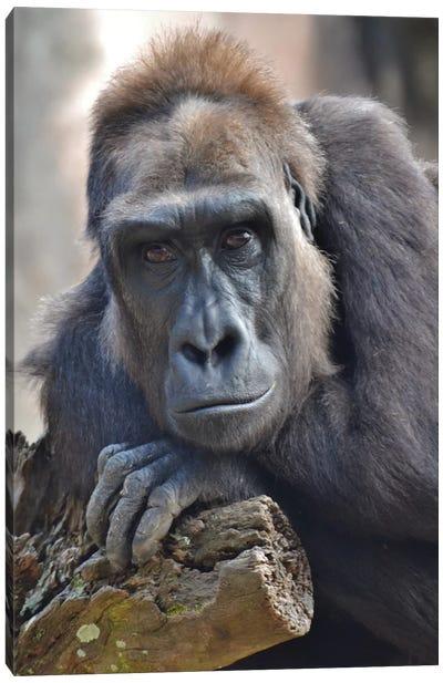 Female Gorilla Portrait Canvas Art Print