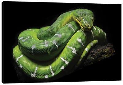Green Tree Python Canvas Art Print