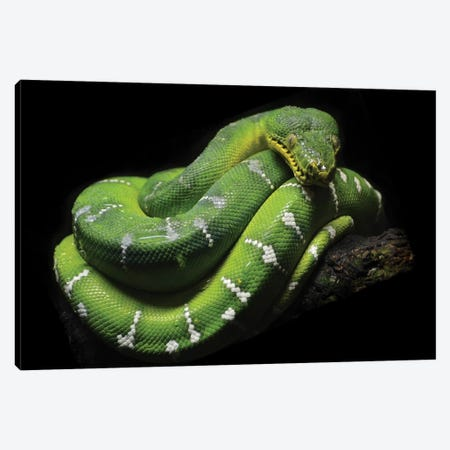 Green Tree Python Canvas Print #MFZ20} by Michael Fitzsimmons Canvas Art
