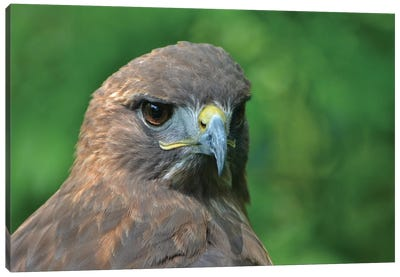 Harris Hawk In Forest Canvas Art Print