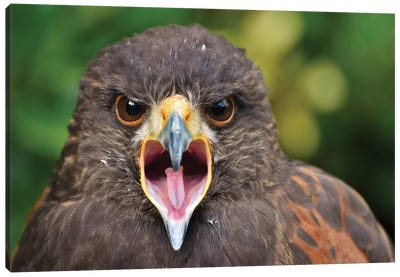 Harris Hawk Screeching Canvas Art Print