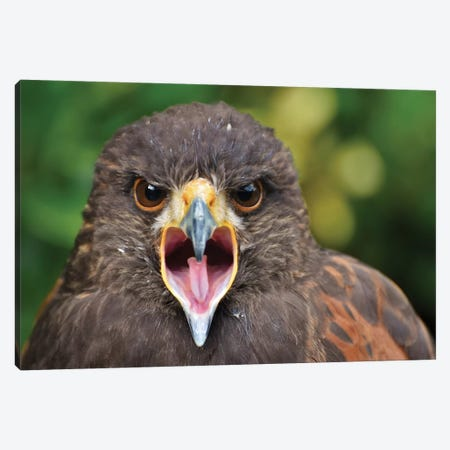 Harris Hawk Screeching Canvas Print #MFZ23} by Michael Fitzsimmons Canvas Wall Art