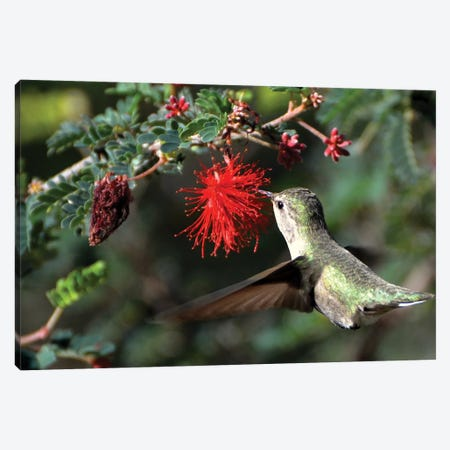 Hummingbird In Flight Canvas Print #MFZ26} by Michael Fitzsimmons Canvas Print
