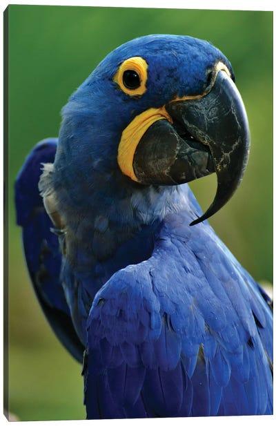 Hyacinth Macaw Portrait Canvas Art Print