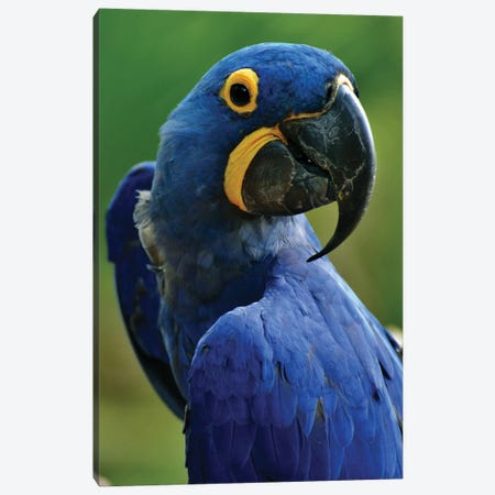 Hyacinth Macaw Portrait Canvas Print #MFZ27} by Michael Fitzsimmons Canvas Print