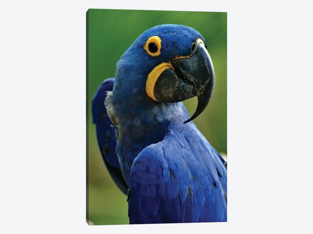 Hyacinth Macaw Portrait by Michael Fitzsimmons 1-piece Canvas Print