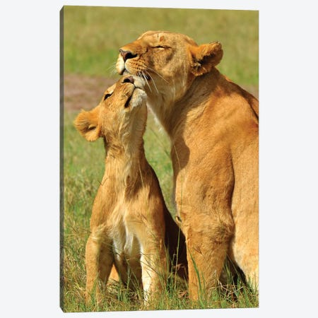 Lion Kisses Canvas Print #MFZ32} by Michael Fitzsimmons Canvas Art Print