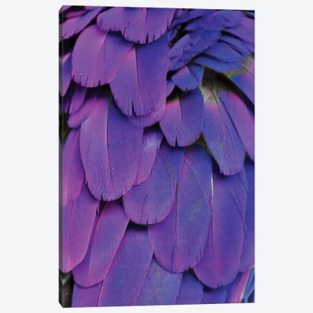 Macaw Feathers XXIV  Canvas Print #MFZ36} by Michael Fitzsimmons Canvas Art