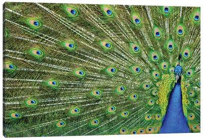 Peacock Plumage Canvas Art Print