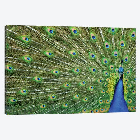 Peacock Plumage Canvas Print #MFZ37} by Michael Fitzsimmons Canvas Wall Art