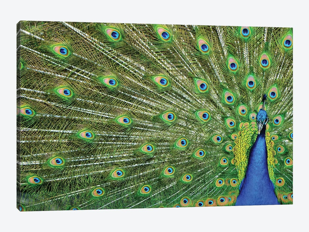 Peacock Plumage by Michael Fitzsimmons 1-piece Canvas Artwork