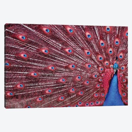 Peacock Plumage - Redshift Canvas Print #MFZ38} by Michael Fitzsimmons Canvas Art Print