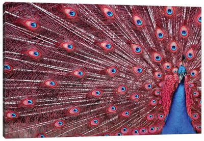 Peacock Plumage - Redshift Canvas Art Print