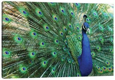 Peacock Plumage VII Canvas Art Print