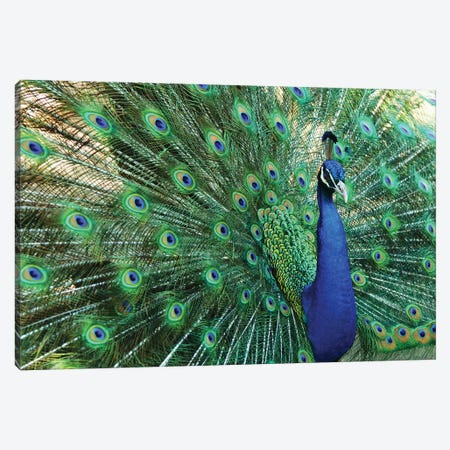 Peacock Plumage VII Canvas Print #MFZ39} by Michael Fitzsimmons Canvas Print
