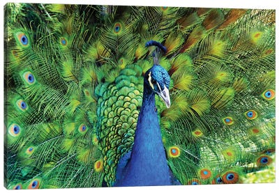 Peacock Plumage XIII Canvas Art Print