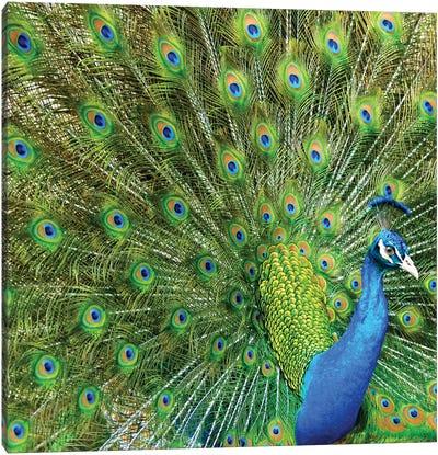 Peacock Plumage XIV Canvas Art Print